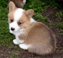 how much are corgis